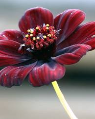 A photo of Chocolate Cosmos