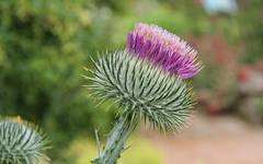 A photo of Cotton Thistle
