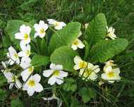 Primula vulgaris white to bright yellow