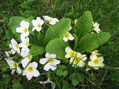 A close up of some Primula vulgaris with white and yellow flowers