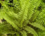 A photo of Sword Fern
