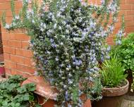 A purple flowering Rosmarinus offcinalis plant in front of a brick wall.