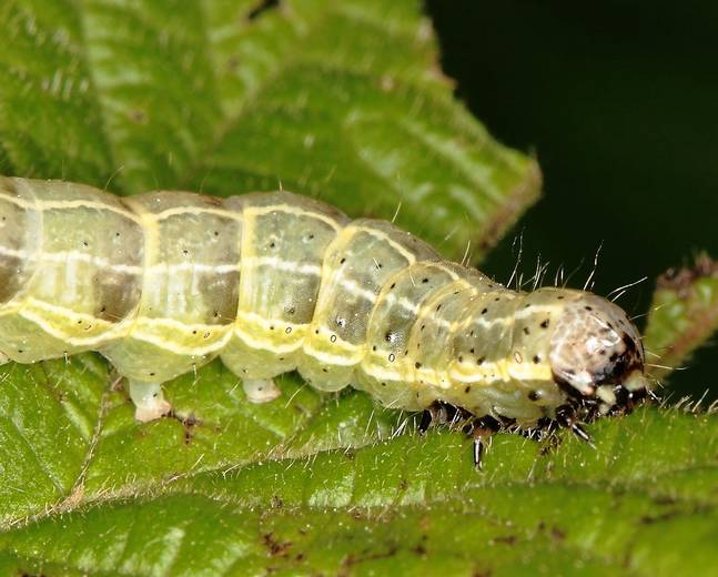A close up of a Operophtera brumata winter moth larva