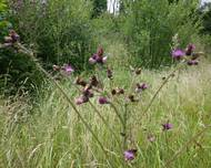 A photo of Creeping Thistle