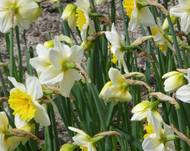Narcissus ('Slim Whitman' cultivar), Real Jardín Botánico, Madrid