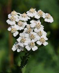 A photo of Yarrow 'White'