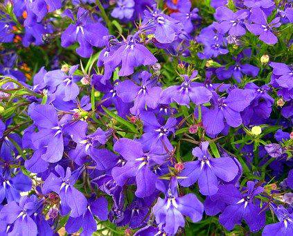 Trailing Lobelia Lobelia Erinus Plants Candide Gardening