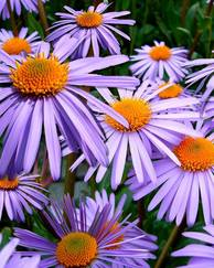 A photo of Michaelmas daisy