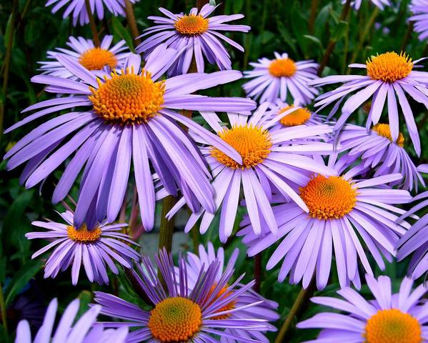 A picture of a Aster