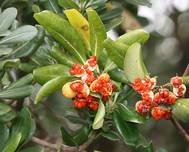 Pittosporum tobira Fruits