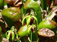 Darlingtonia image