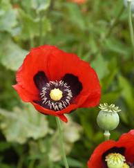 A photo of Opium Poppy