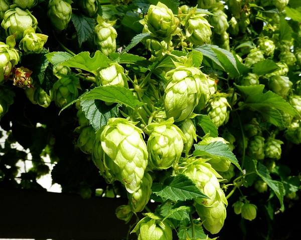 A picture of a Humulus