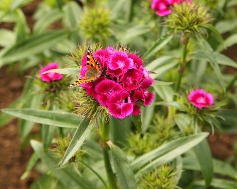 A Sweet William flower with a tortoiseshell butterfly