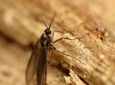 A close up of a fungus gnat