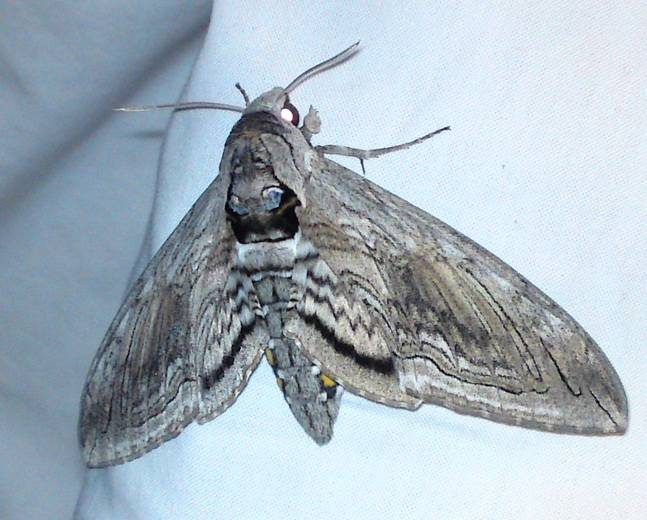 A close up image of a green tobacco moth Manduca sexta resting on a white wall