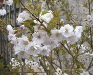 A photo of Flowering Cherry 'Hally Jolivette'
