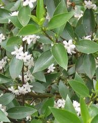 A photo of Myoporum