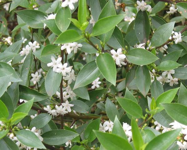 A picture of a Myoporum