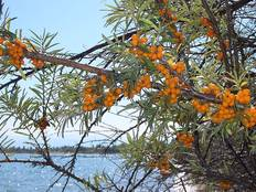 A group of Hippophae orange berries in a tree