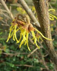 A photo of American Witch Hazel