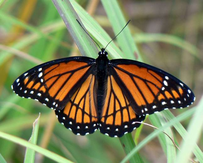 A monarch butterfly insect on the grass