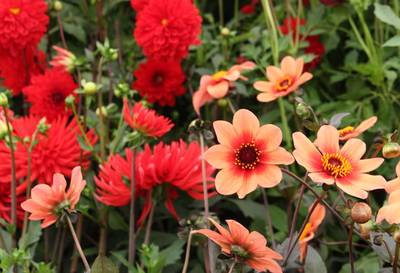 A close up of dahlia flowers