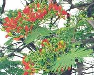 A photo of African tulip tree
