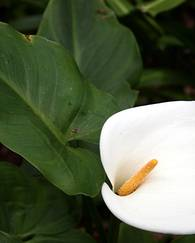 A photo of Arum Lily