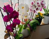 A photo of Moth Orchid