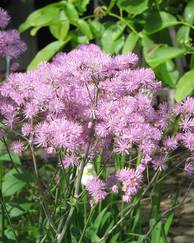 A photo of Thalictrum