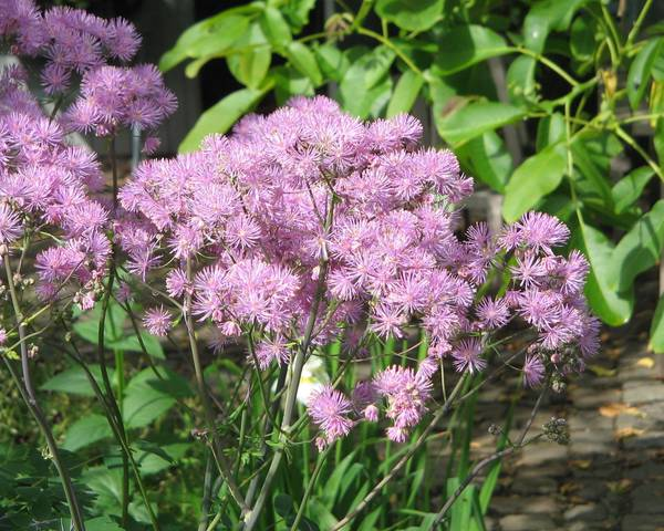 A picture of a Meadow rue