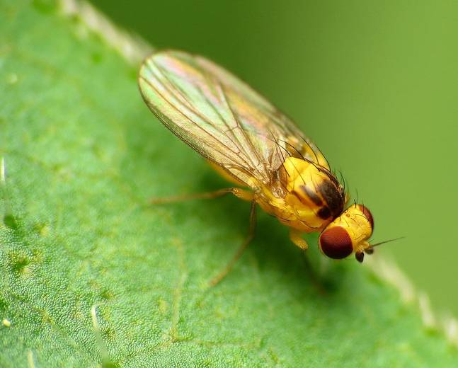 A macroshot of a leaf mining fly from the insect family Agromyzidae on a leaf