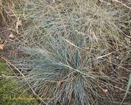 A photo of Blue Fescue