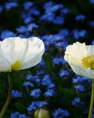 A photo of Iceland Poppy