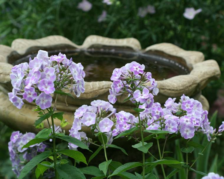 A close up of phlox in front of a bird bath