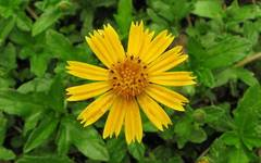 A photo of Bay Biscayne Creeping-Oxeye