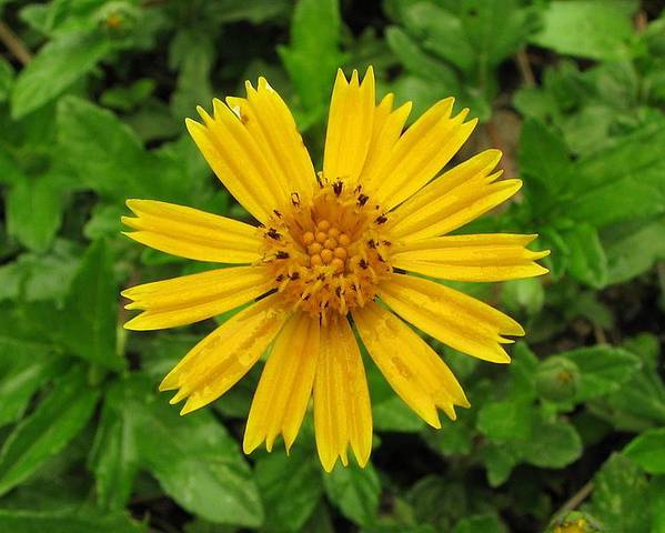 A picture of a Bay Biscayne Creeping-Oxeye