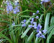 A photo of Spanish Bluebell