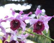 A close up of some purple Orchidaceae flowers
