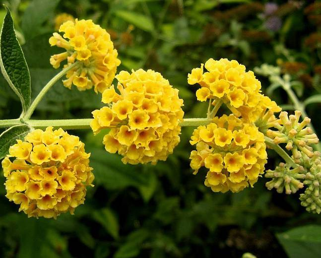 A close up of some yellow Buddleja Buddleia flowers