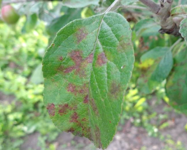 A close up of a leaf infected with Apple Scab Venturia inaequalis,