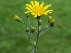 A close up of a yellow Hieracium flower
