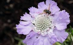A photo of Caucasian Scabious