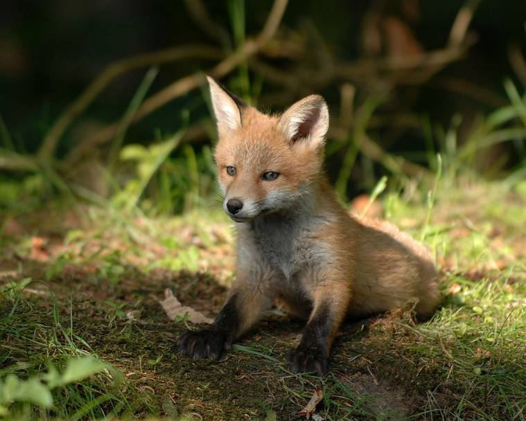 A fox cub sitting in the grass in a garden
