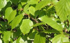A photo of Downy Birch