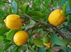 A close up of some yellow fruits hanging from a branch of a Citrus medica plant