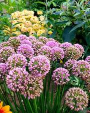 Allium bundle 37 top sized bulbs. Free UK delivery.
