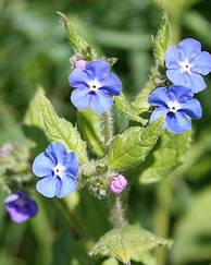 A photo of Green Alkanet