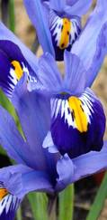 A photo of Dwarf Iris